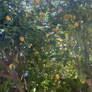 Organic lemons (fresh Off Tree) for Sale in Modesto, CA
