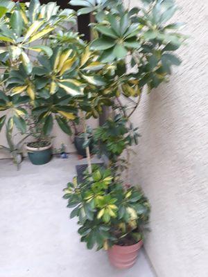 Dos plantas de tamaño grande á buen precio hay que traer una troca. for Sale in Lake Forest, CA