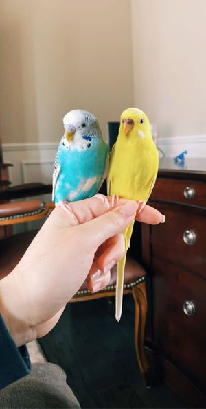 Two Parakeets for $25 for Sale in Troy, MI