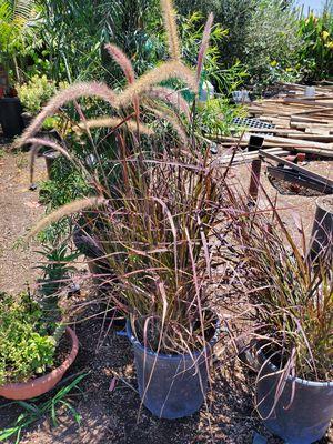 purple fountain grass for Sale in Ontario, CA