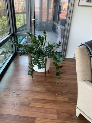ZZ plant in West Elm pot for Sale in Chicago, IL
