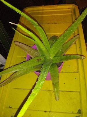 Aloe Vera plant for Sale in San Antonio, TX