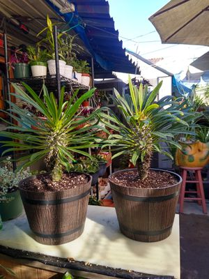 MADAGASCAR PALM for Sale in Paramount, CA