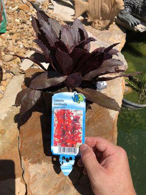 Koi Pond Plants (aquatic plants) for Sale in Dallas, TX