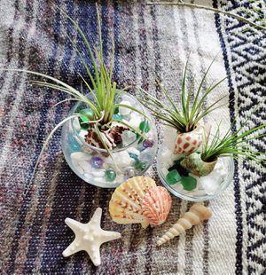 3 Airplants in Seashells for Sale in Lakeland, FL