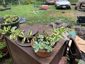 Succulents for Sale in Vancouver, WA