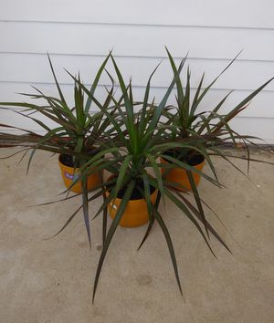 Dracena Palm house plants$12 each for Sale in St. Louis, MO