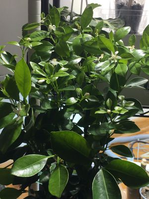 Healthy calamondin orange tree with many blossoms. for Sale in Chicago, IL
