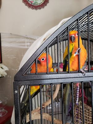 Sun conures for Sale in Arnold, MO