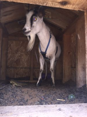 Fainting goat for Sale in Wichita, KS