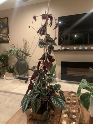 Cissus discolor trailing plant / rex begonia vine for Sale in Chino Hills, CA