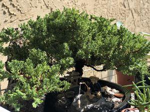 Juniper bonsai tree for Sale in Concord, CA