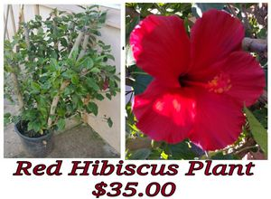 Red hibiscus plant - last one for Sale in Hacienda Heights, CA