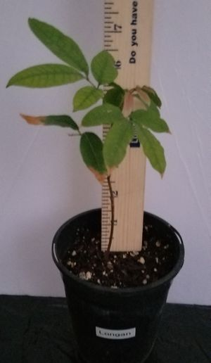 Longan Seedling Plant for Sale in Claremont, CA