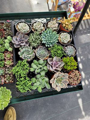 Succulents Rare beautiful plants for Sale in Upland, CA