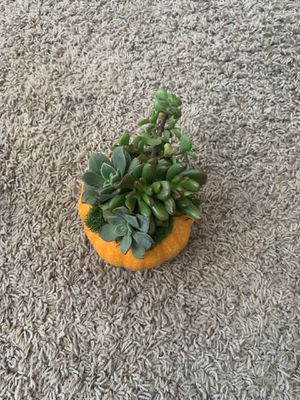 Pumpkin succulent arraignment for Sale in Vista, CA