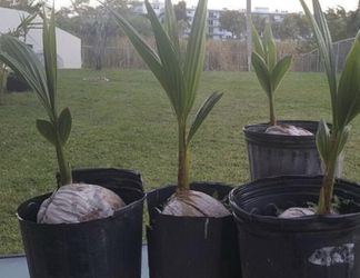 Coconut Palm Trees for Sale in Orlando,  FL