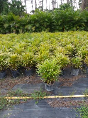 Areca palms for Sale in West Palm Beach, FL
