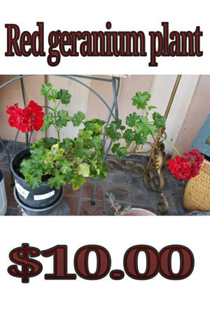 Red geranium plant for Sale in Hacienda Heights, CA