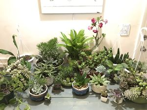 Big plant sale! Everything $5-$25 depending on plant, succulents bromeliads cactus for Sale in Spring Hill, FL