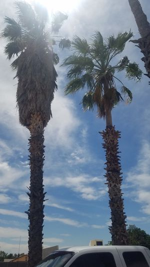 Free palm trees! for Sale in Mesa, AZ