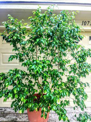 Huge beautiful Benjamin plant 10 years old 6-7sf for Sale in Austin, TX