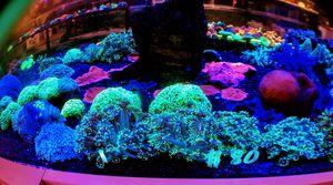 Flower Pot Corals for Sale in Hialeah, FL