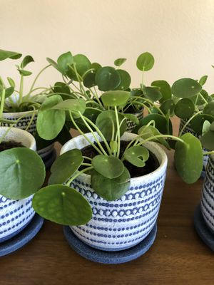Pilea Peperomioides (Chinese Money Plant) in ceramic pot with matching saucer 🌿 for Sale in Phoenix, AZ