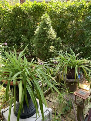Spider plants for Sale in McKeesport, PA