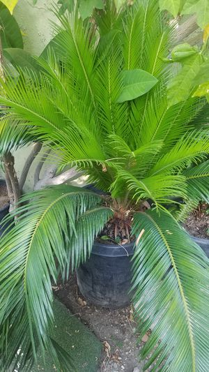 Palm for Sale in Irwindale, CA