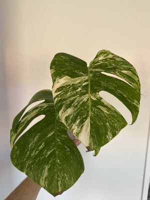 Variegated Monstera Albo for Sale in Alhambra, CA