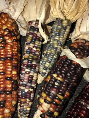 Indian Corn, 5 ears for $5.00 for Sale in Mount Airy, MD
