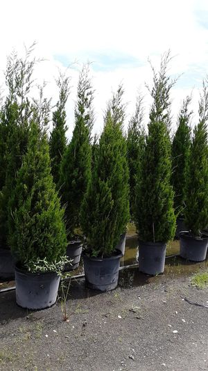 Cedar trees delivered and planted 8 foot tall for Sale in Tampa, FL