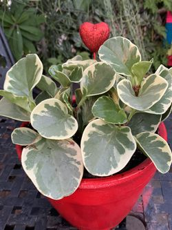 Plants De Sombra Mediana $25 Each for Sale in Downey,  CA
