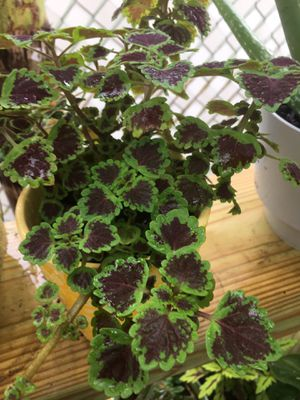 Bicolor Coleus in Yellow Decorative Pot for Sale in Kissimmee, FL