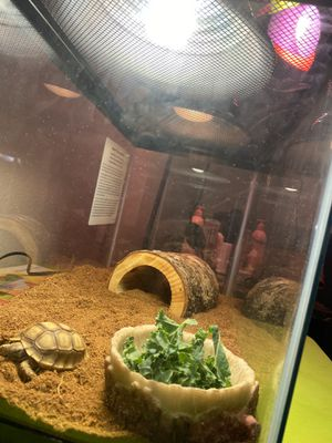 Baby Sulcata tortoise for Sale in Oakland, CA
