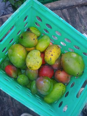 ORGANIC SWEET MANGOES FOR SALE for Sale in Delray Beach, FL