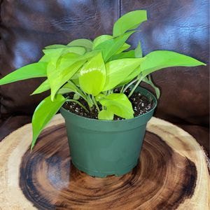 Neon Pothos 6in for Sale in Paramount, CA