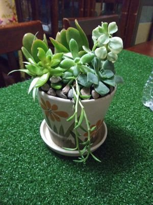 Succulents en macetita de cerámica pequeños for Sale in Bell, CA