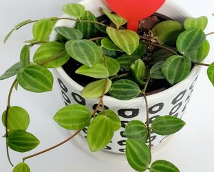 The Beetle Peperomia for Sale in Long Beach,  NY