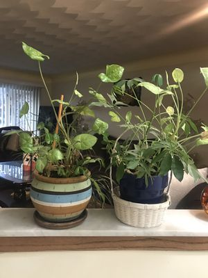 Really plant for Sale in Sterling Heights, MI