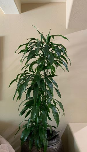 6 foot corn plant have for Sale in Chandler, AZ