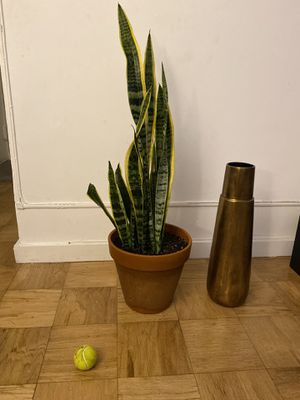 Big Snake Plant Potted for Sale in New York, NY