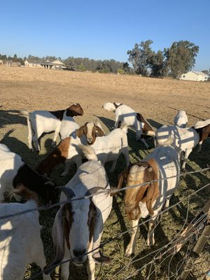 Goats for Sale in Clovis, CA