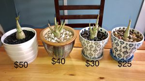 1 yr old Young Bonzai Tree Desert Rose (Adenium obesum) plant & pot for Sale in Puyallup, WA