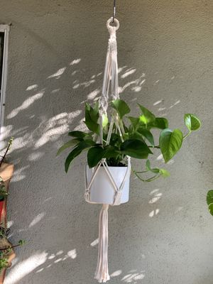 Pothos plants for Sale in South Gate, CA