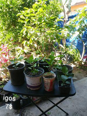 Plantas de igos. Common fig plants. for Sale in Los Angeles, CA