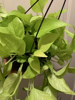 Large Neon Pothos for Sale in Renton,  WA