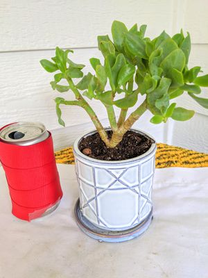Ripple Jade Succulent Plants in Ceramic Planter Pot with Fixed Saucer-Real Indoor House Plant for Sale in Auburn, WA