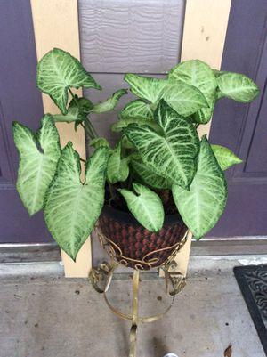 "20"" Organic Homegrown Alive Arrowhead Air Purifier Plant in a pot for Sale in Austin, TX"
